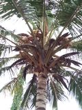 椰子在我的邻里 免版税库存照片