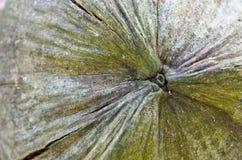 椰子壳 图库摄影