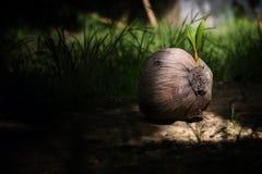 椰子幼木  图库摄影