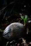 椰子幼木  库存图片