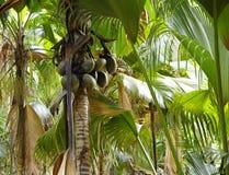 椰子或Coco de Mere 免版税库存图片