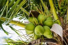 椰子是束 库存图片
