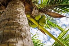 椰子是束 库存照片