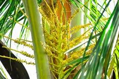 椰子是芬芳花,但是他们可能也用于诱使昆虫飞行授粉它 免版税图库摄影