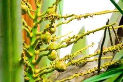 椰子是芬芳花,但是他们可能也用于诱使昆虫飞行授粉它 免版税库存图片