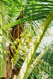 椰子是芬芳花,但是他们可能也用于诱使 库存图片