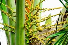 椰子是芬芳花,但是他们可能也用于诱使 免版税库存图片