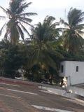 椰子是近的在家,i象椰子 免版税库存照片