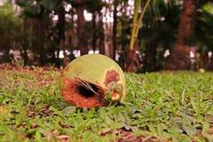 椰子果子损伤 库存照片