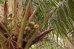 椰子果子损伤 图库摄影