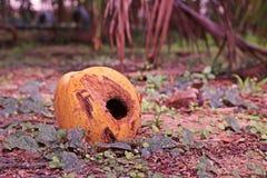 椰子果子损伤 免版税库存图片