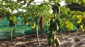 椰子果子种植园 股票视频