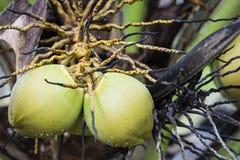 椰子果子 免版税图库摄影