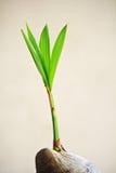 椰子树。 免版税库存照片