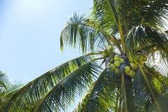 椰子树丛用成熟椰子 免版税库存图片