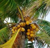 椰子树和果子在种植园 库存照片