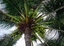 椰子树和果子晴天在夏天 库存图片