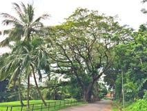 椰子树和雨豆树 免版税库存照片