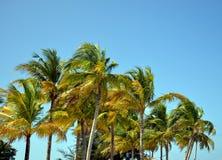 椰子树在大风天 免版税库存照片