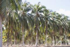 椰子树在天时间的乡下农场 库存图片