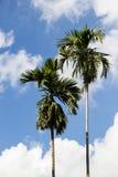 椰子树在蓝天背景中 免版税库存图片