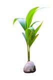 椰子树新芽  免版税库存图片
