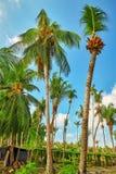 椰子树用果子椰子,在一个热带海岛上在马尔代夫,印度洋的中间部分 库存图片