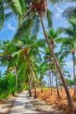 椰子树用果子椰子,在一个热带海岛上在马尔代夫,印度洋的中间部分 免版税图库摄影