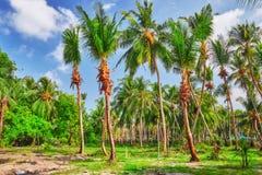 椰子树用果子椰子,在一个热带海岛上在马尔代夫,印度洋的中间部分 库存照片