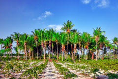 椰子树用果子椰子,在一个热带海岛上在马尔代夫,印度洋的中间部分 免版税库存照片