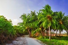 椰子树用果子椰子,在一个热带海岛上在马尔代夫,印度洋的中间部分 免版税库存图片
