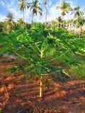 椰子树用果子椰子,在一个热带海岛上 免版税库存图片