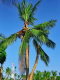 椰子树用果子椰子,在一个热带海岛上 库存图片