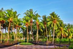 椰子树用果子椰子,在M的一个热带海岛上 库存图片