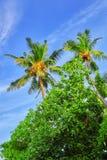 椰子树用果子椰子,在M的一个热带海岛上 免版税图库摄影