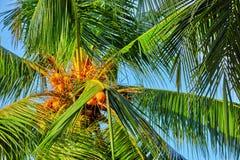 椰子树用果子椰子,在M的一个热带海岛上 免版税库存图片