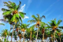 椰子树用果子椰子,在M的一个热带海岛上 免版税库存照片