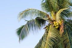 椰子树用蓝天背景垂悬的椰子 免版税库存图片