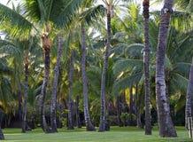 椰子树的种植园 免版税图库摄影