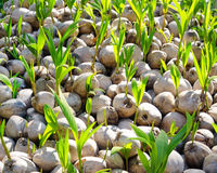 椰子树绿色新芽  免版税库存图片