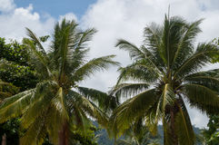 椰子树 免版税图库摄影