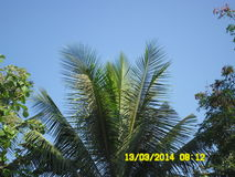 椰子树头 免版税图库摄影