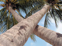 椰子树x 库存图片