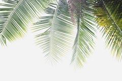 椰子棕榈叶 免版税图库摄影