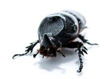 椰子犀牛甲虫 免版税库存图片