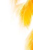 椰子留给金黄 库存照片