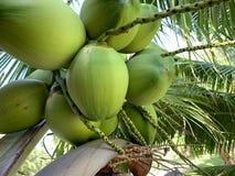 椰子的焦点图象在树的 免版税库存照片