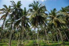 椰子种植园在亚洲 图库摄影
