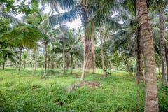 椰子种植园在亚洲 免版税图库摄影