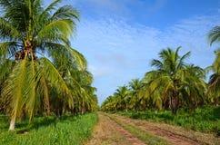 椰子种植园 库存照片